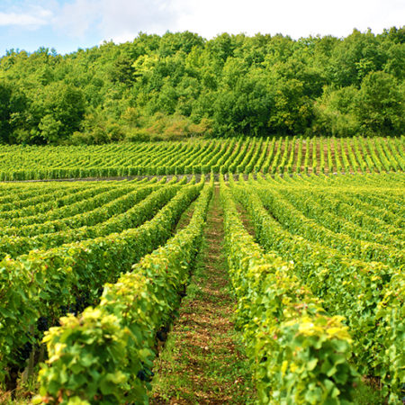 Typical vineyard in France